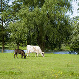 Koe en kalf Royalty-vrije Stock Foto's