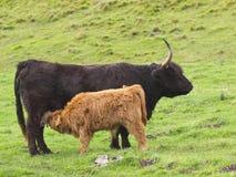 Koe en kalf 2 van het hoogland Stock Afbeeldingen
