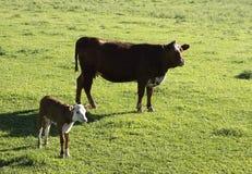 Koe en kalf Stock Afbeelding