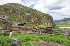 Koe en kalf in de paddock, het dorpsleven, Altai, Rusland royalty-vrije stock foto
