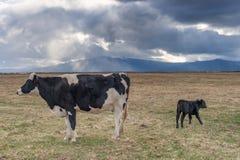 Koe en kalf in dramatisch weer stock foto's