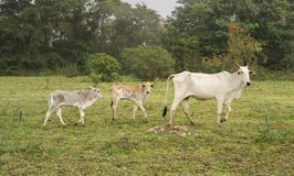 Koe en kalfsvlees in een Landbouwbedrijf in Pantanal, Brazilië Stock Foto's
