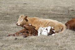 Koe en Kalveren het Bepalen Royalty-vrije Stock Foto