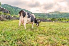 Koe in Fajã Grande op het Eiland Flores in de Azoren, Portugal Royalty-vrije Stock Afbeelding