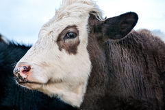 Koe, gezichts dichte omhooggaand Royalty-vrije Stock Fotografie