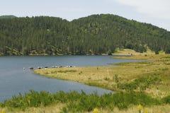 Koe in groen en het meer Stock Afbeeldingen