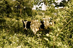 Koe in het gebladerte Stock Afbeelding