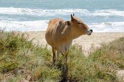 Koe in het midden van gras op de zandige kust stock afbeeldingen