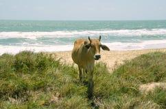 Koe in het midden van gras op de zandige kust stock foto