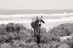 Koe in het midden van gras op de zandige kust royalty-vrije stock foto's