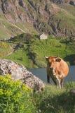 Koe in het natuurreservaat van Somiedo Royalty-vrije Stock Afbeeldingen