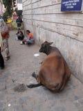 Koe het ontspannen op de straat van Kolkata Stock Foto's