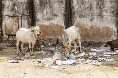 Koe in het voeden van India op huisvuil Stock Afbeelding