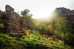 Koe het weiden bij mooie groene bergscène Stock Fotografie