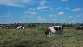 Koe het weiden in het platteland stock video