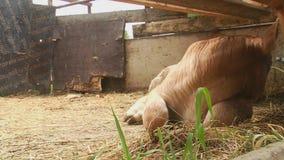 Koe het Weiden op Gebied, Weiland, de Landbouw, Koe bij Platteland, Rustieke Mening stock video
