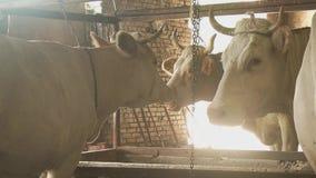 Koe het Weiden op Gebied, Weiland, de Landbouw, Koe bij Platteland, Rustieke Mening stock videobeelden