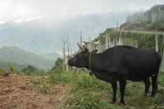 Koe het weiden op het gebied, paro, bhutan Royalty-vrije Stock Fotografie