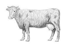 Koe, kalf, dierlijke zoogdieren van de stieren de leuke snuit stock illustratie