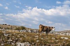 Koe in Karst, Bosnië-Herzegovina stock foto