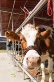 Koe in landbouwbedrijf Royalty-vrije Stock Foto
