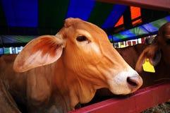 Koe in landbouwbedrijf Royalty-vrije Stock Afbeeldingen