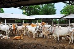 Koe in landbouwbedrijf Royalty-vrije Stock Afbeelding