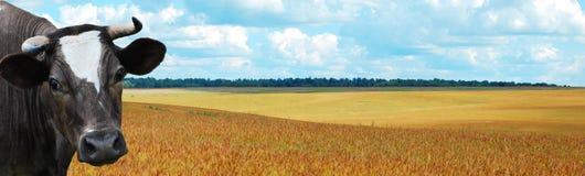 Koe met blauwe hemel bij achtergrondpanorama Stock Afbeeldingen
