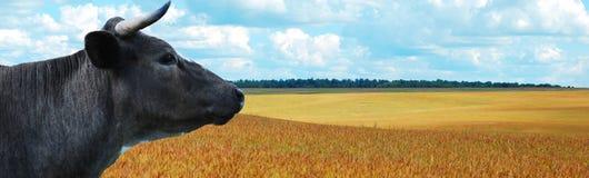 Koe met blauwe hemel bij achtergrondpanorama Royalty-vrije Stock Foto