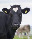 Koe met hart die op gebied merken Royalty-vrije Stock Afbeelding