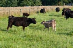 Koe met kalveren Stock Foto's