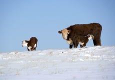 Koe met kalveren in de sneeuw Stock Foto's