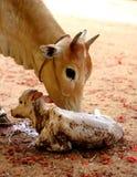 Koe met nieuw - geboren kalf Stock Foto