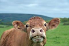 Koe naast de Priestersweg, Dorset Stock Foto's