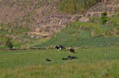 Koe in natuurlijk landschap Royalty-vrije Stock Foto