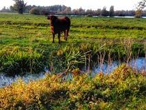 Koe in Nederland stock afbeelding