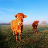 Koe in ochtendzonlicht Stock Foto