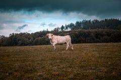 Koe onder stormachtige wolken op een gebied Royalty-vrije Stock Foto