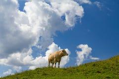 Koe op alpien weiland Stock Afbeelding