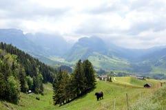 Koe op Appenzell Stock Fotografie