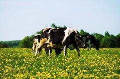 Koe op bloemweide Stock Foto's