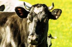 Koe op bloemweide Stock Afbeelding