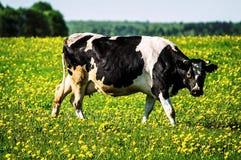 Koe op bloemweide Royalty-vrije Stock Afbeelding