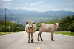 Koe op de weg Stock Foto