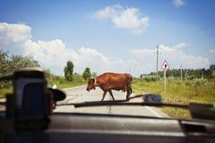 Koe op de weg Stock Afbeeldingen