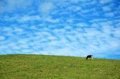 Koe op een blauwe hemel Royalty-vrije Stock Afbeeldingen