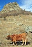 Koe op een de herfstweiland Stock Fotografie