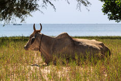 Koe op een gebied naast overzeese kust royalty-vrije stock foto