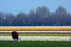 Koe op een gebied van bloemen stock foto's