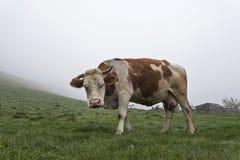 Koe op een groene weide 4 Royalty-vrije Stock Afbeelding